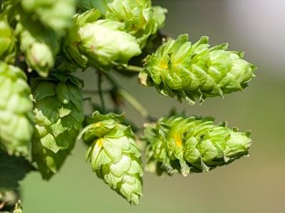 cascade-hops-on-the-bine